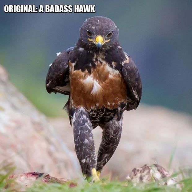 Bird - ORIGINAL: A BADASS HAWK