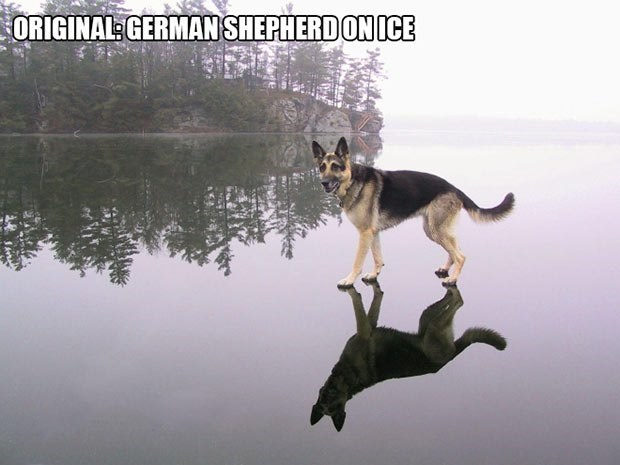 German Shepherd on ice