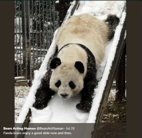 Panda - Bears Acting Human @BearsActHuman Jul 28 Panda bears enjoy a good slide now and then.