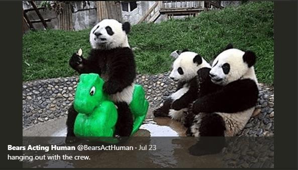 Panda - Bears Acting Human @BearsActHuman Jul 23 . hanging out with the crew.