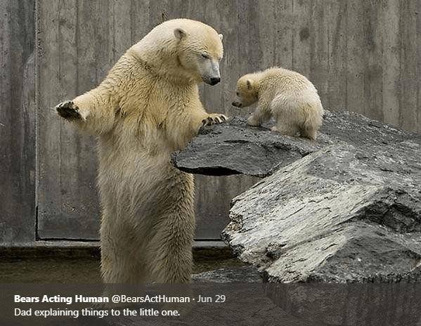 Polar bear - Bears Acting Human @BearsActHuman Jun 29 Dad explaining things to the little one.
