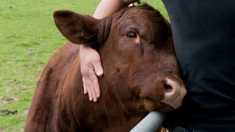 cow cute cuddling new york animals b&b - 9069829