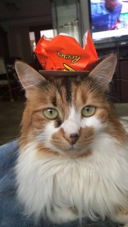 Cat - Reeses
