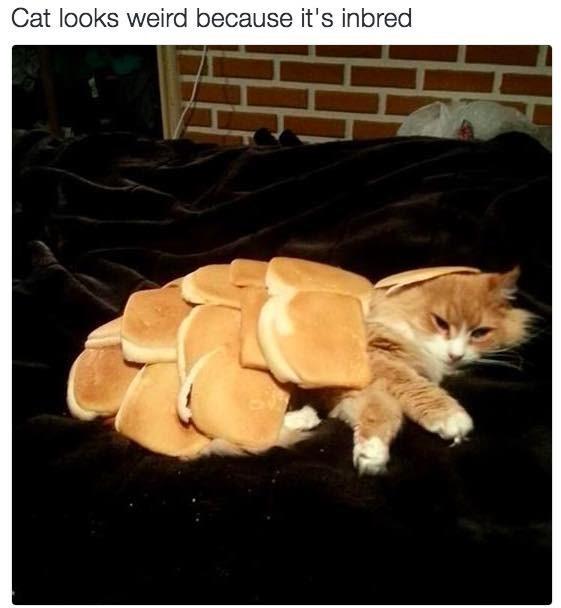 Cat - Cat looks weird because it's inbred