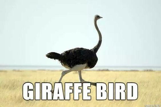 Ostrich - GIRAFFE BIRD