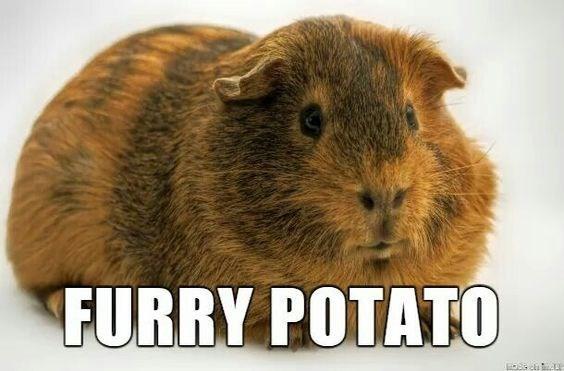 Guinea pig - FURRY POTATO