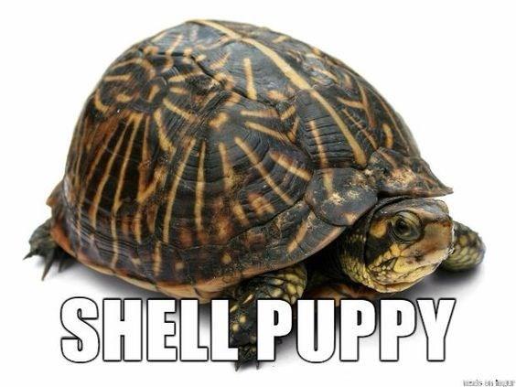 Tortoise - SHELL PUPPY