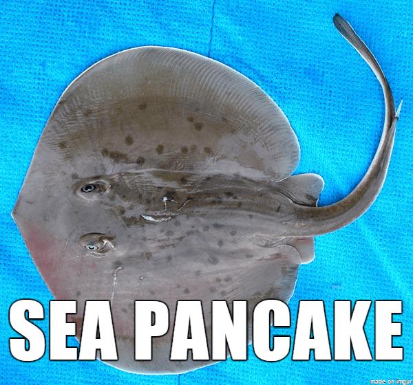 Electric ray - SEA PANCAKE made c