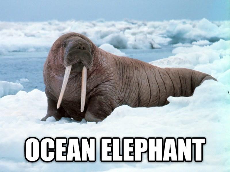 Vertebrate - OCEAN ELEPHANT