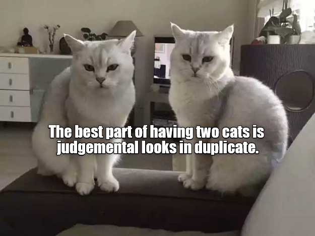 Cat - The best part of having two cats is judgemental looks in duplicate.