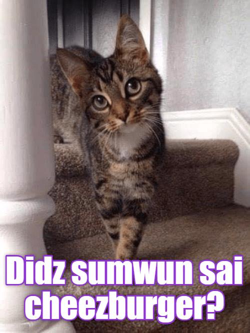 Cat - Didz sumwun sai cheezburger?