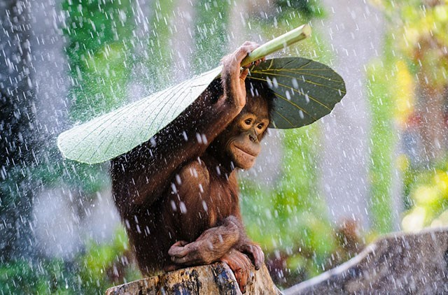 Water and monkey using leaf as umbrella