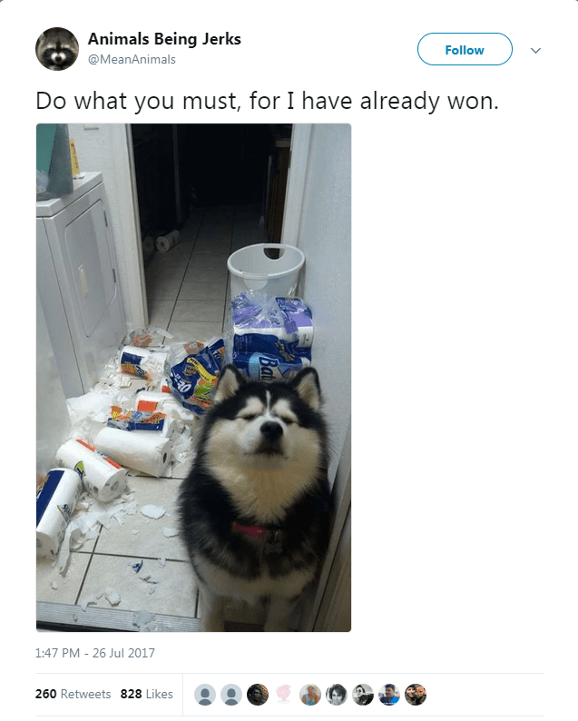 Siberian husky - Animals Being Jerks Follow @MeanAnimals Do what you must, for I have already won. 1:47 PM 26 Jul 2017 260 Retweets 828 Likes Ba