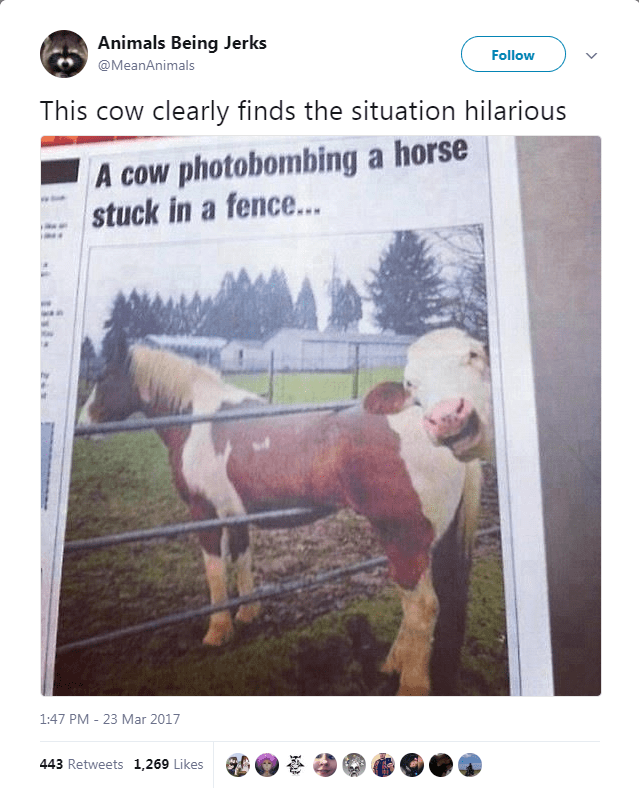 Text - Animals Being Jerks Follow @MeanAnimals This cow clearly finds the situation hilarious A cow photobombing a horse stuck in a fence... 1:47 PM 23 Mar 2017 443 Retweets 1,269 Likes