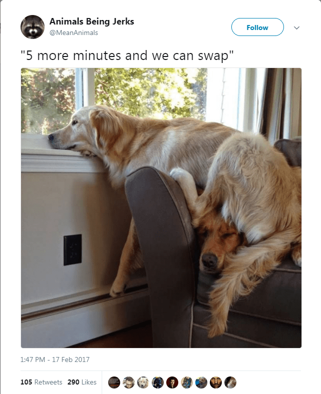 """Dog breed - Animals Being Jerks Follow @MeanAnimals """"5 more minutes and we can swap"""" 1:47 PM 17 Feb 2017 105 Retweets 290 Likes"""