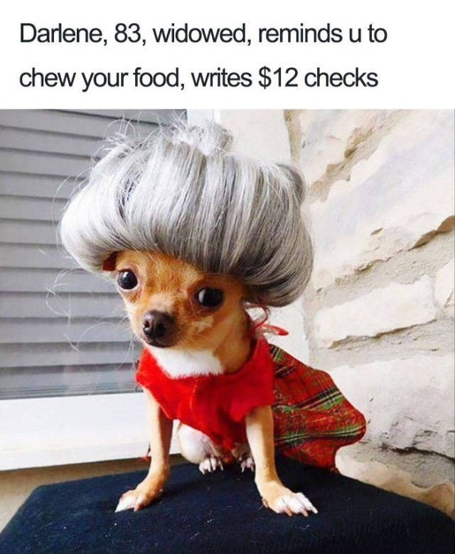 brown chihuahua wearing red clothes and old granny grey bun wig Dog Bio Memes - of an old woman that still writes checks to people