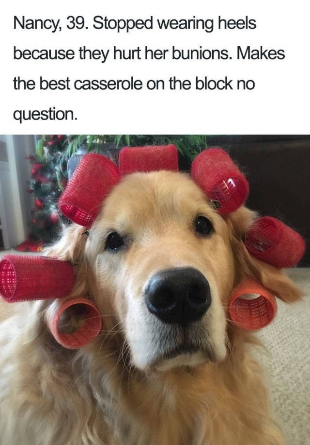 Dog Bio Memes golden retriever with pink hair curlers on head