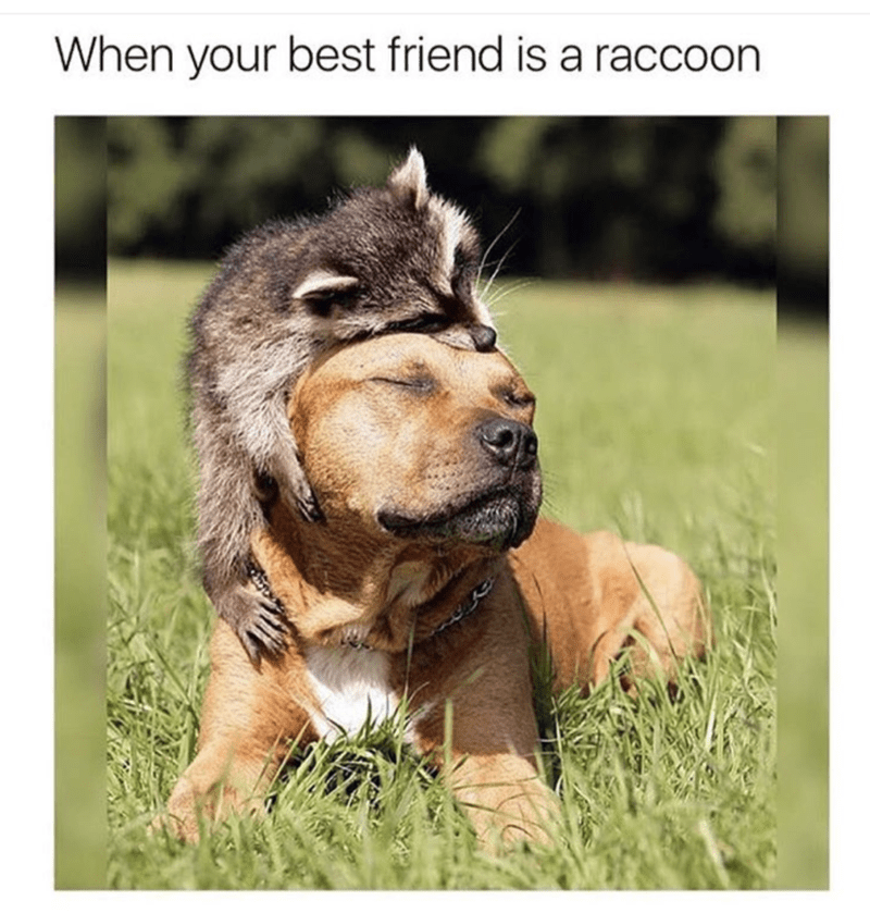 Funny meme of a dog and raccoon that are best friends.