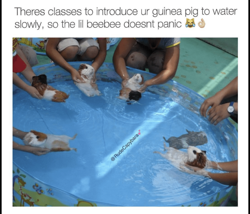 Class introducing your guinea pig to water