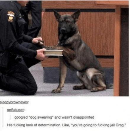 "Mammal - sleepybrowneyes: seifukucat: googled ""dog swearing"" and wasn't disappointed His fucking look of determination. Like, ""you're going to fucking jail Greg."