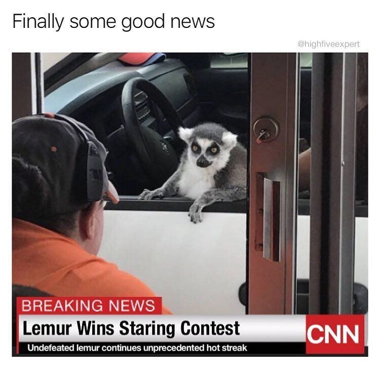 Funny meme about lemur winning staring contest.