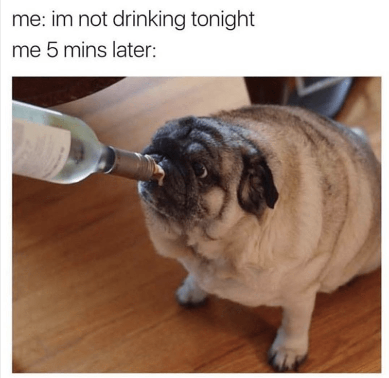 Funny meme about not drinking tonight and then 5 minutes later with pic of fat pug drinking out of glass bottle.
