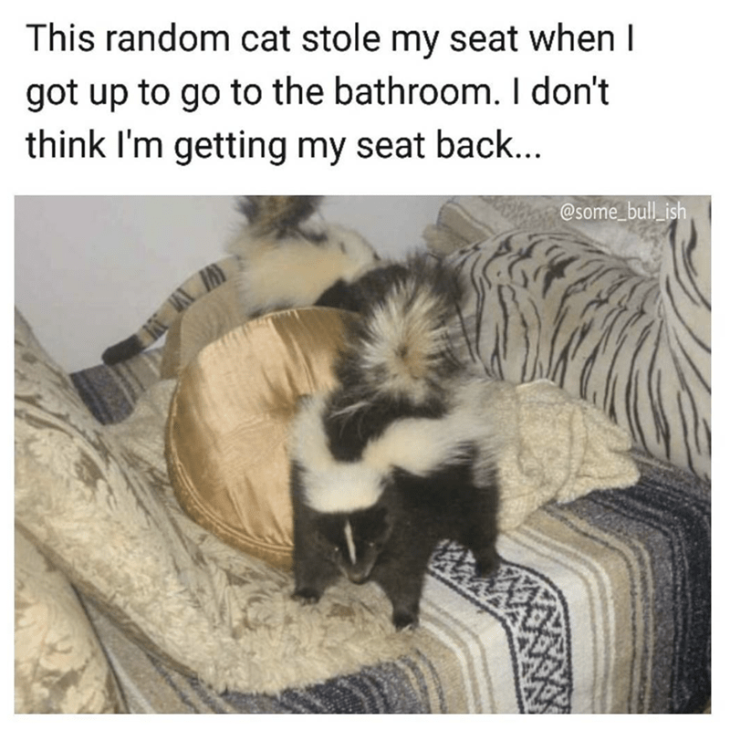 Funny meme of someone who had a cat steal his seat, but it looks more like a skunk.