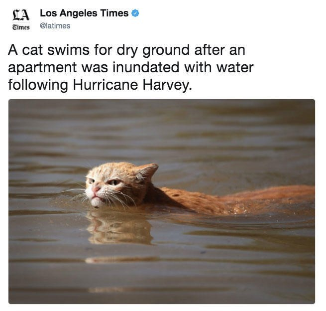 Cat swims for dry ground after Hurricane Harvey - Tweet in LA times