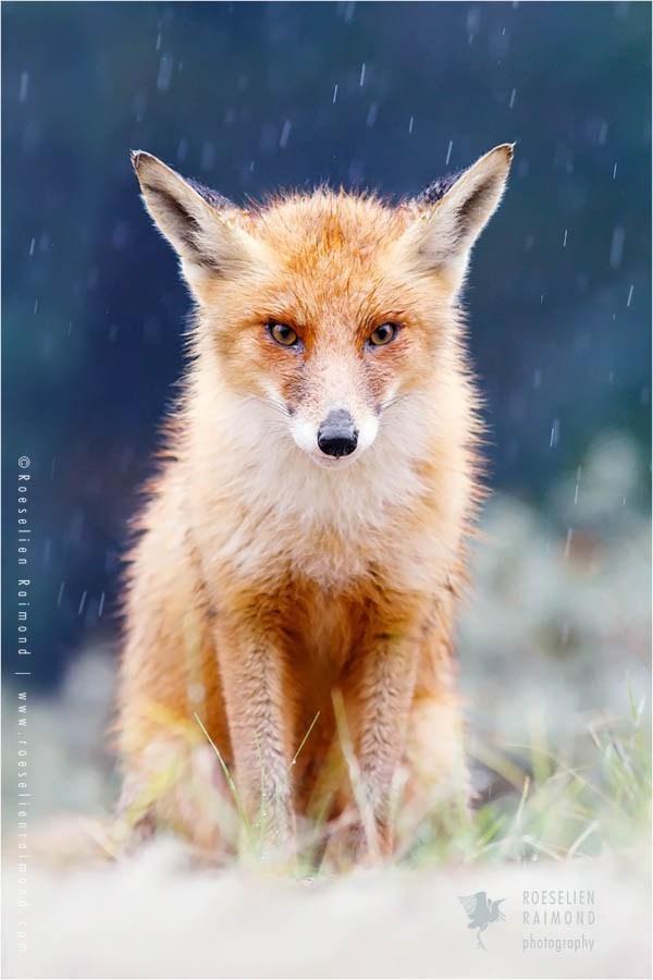 snowy fox - - Mammal - ROESELIEN RAIMOND photography Ro eselien Raimond wWW.ro eselie nraimond