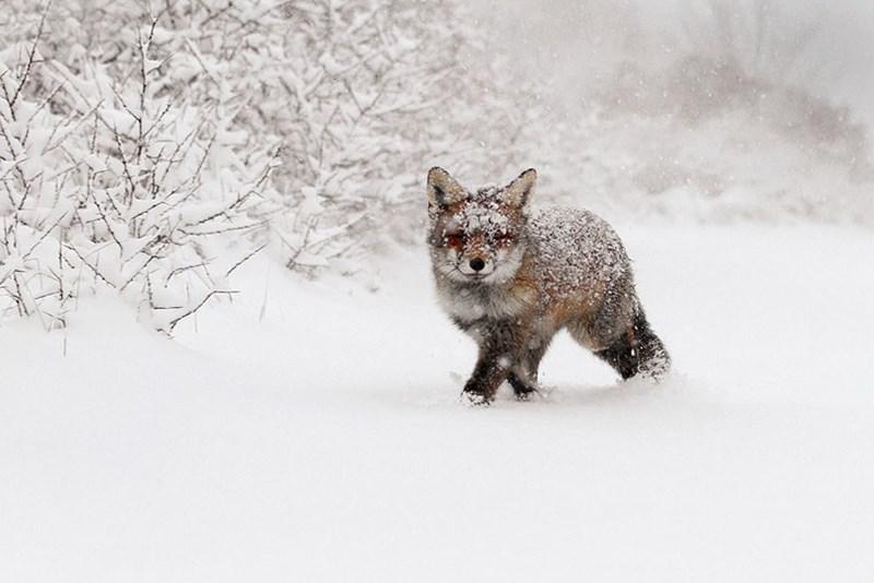 snowy fox - - Canidae