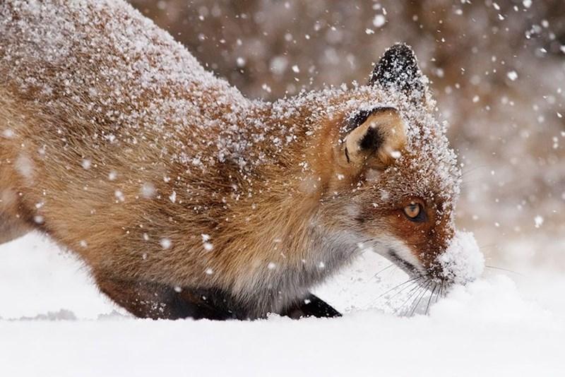 snowy fox - - Mammal