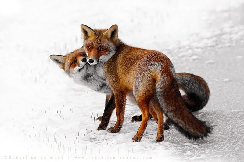 snowy fox - - Red fox - Roeselien Raim nr