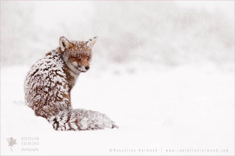 snowy fox - - Wildlife - ROESELIEN RAIMOND photography ORoeselien Roimond www elienraimond.com