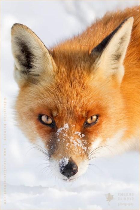 snowy fox - - Red fox - ROESELIEN RAIMOND htogrophy sellenralmand.co