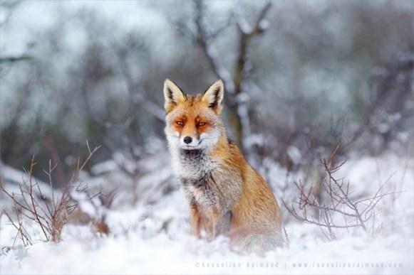 snowy fox - - Mammal - ellen ainsadwww.r l raimand.com