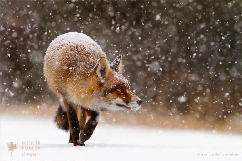 snowy fox - - Red fox - ROESELIEN RAIMOND photography elienraimond.com www.ro