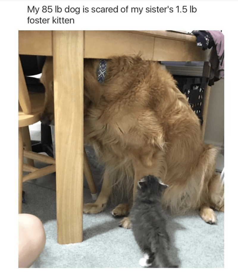 Cat - My 85 lb dog is scared of my sister's 1.5 lb foster kitten
