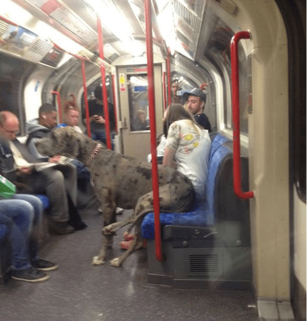 large dog sitting on subway with hind legs on seat and front legs on ground dog meme