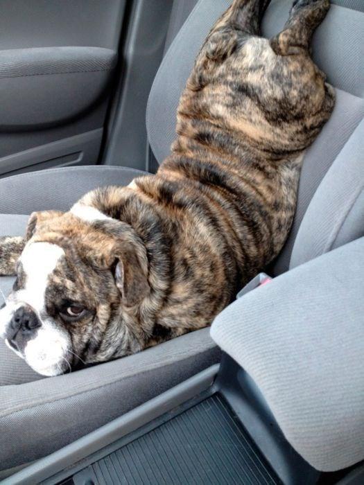 dog sitting upside down in car seat dog meme