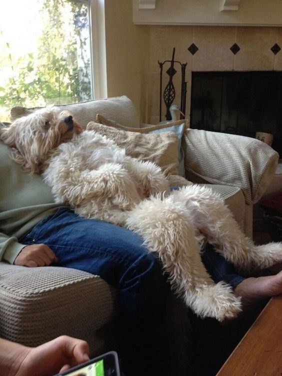 curly white dog lounging back on couch dog meme