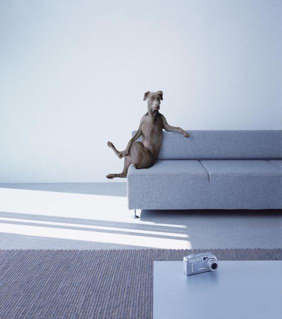 wegman dog crossing legs sitting on modern couch dog meme