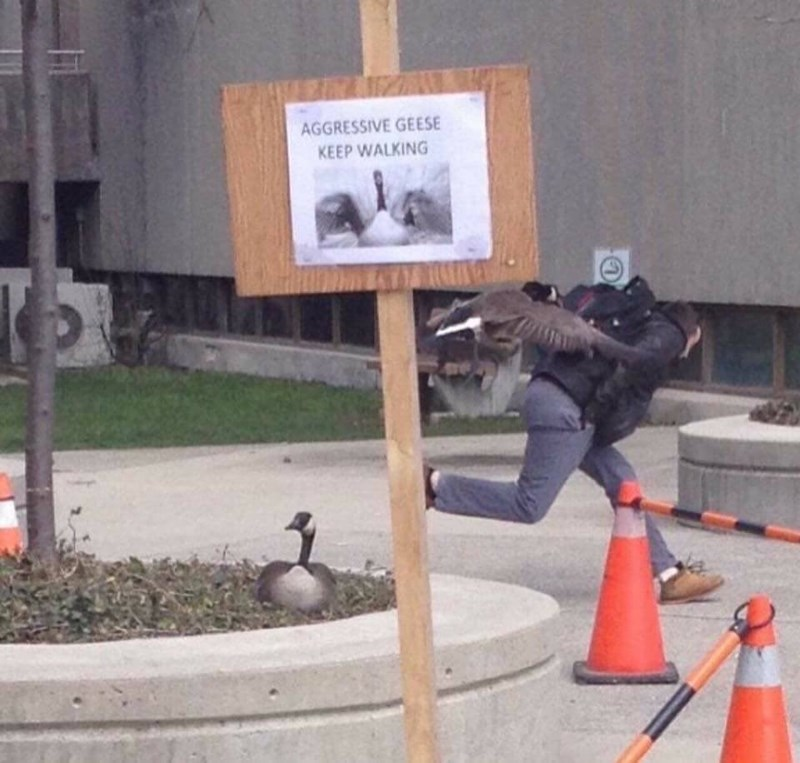 Funny pic of a warning sign about aggressive geese and one attacking a passerby.