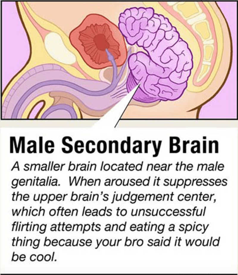Text - Male Secondary Brain A smaller brain located near the male genitalia. When aroused it suppresses the upper brain's judgement center, which often leads to unsuccessful flirting attempts and eating a spicy thing because your bro said it would be cool.
