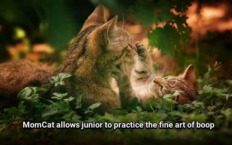 Felidae - MomCat allows junior to practice the fine art of boop