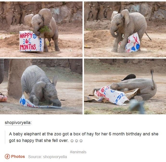 funny tumblr post A baby elephant at the zoo got a box of hay for her 6 month birthday and she got so happy that she fell over. #animals O Photos Source: shopivoryella