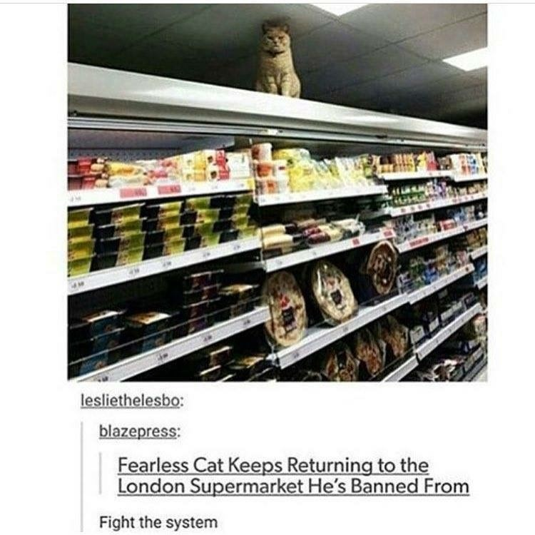 funny tumblr post Fearless Cat Keeps Returning to the London Supermarket He's Banned From Fight the system