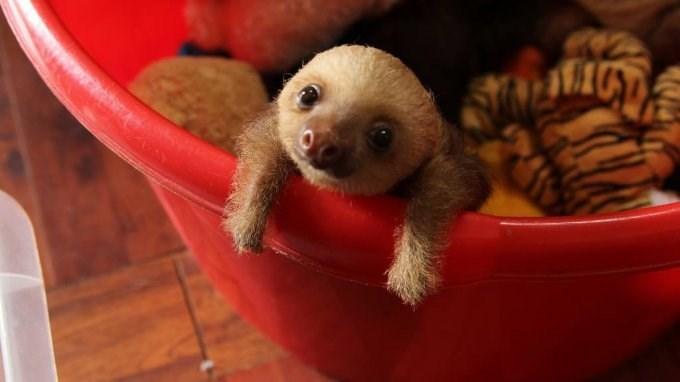 baby sloth with teddy bear - Mammal