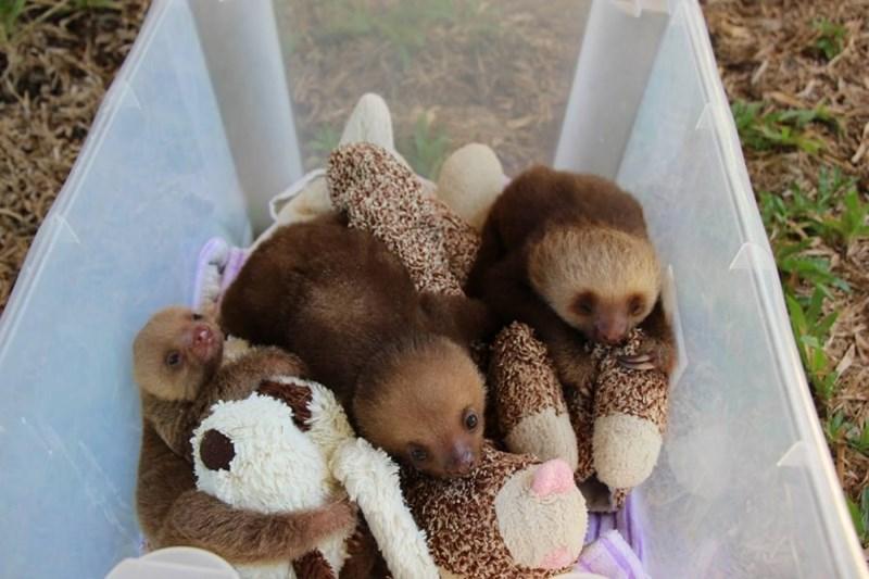 baby sloth with teddy bear - Hedgehog
