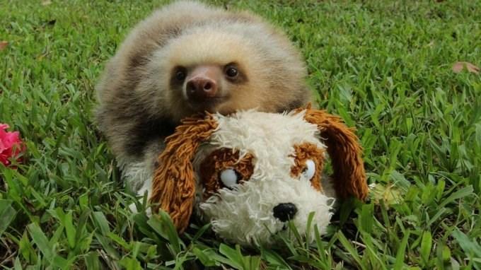 baby sloth with teddy bear - Vertebrate