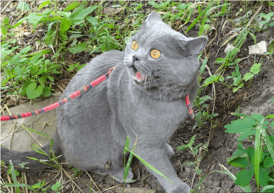 leash - Cat